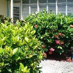 Beautiful flowering shrubs at front door of condo
