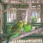 les oiseaux du jardins tropicales