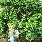 picking grapefruit at Rod n Nod