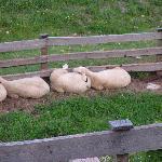 Uhrerhof-Deur's Sheep!