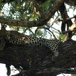 relazing leopard