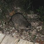 Barnie the Cabin Grounds Raccoon