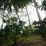 the coconut plantation