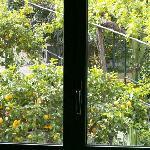 Limonenbäume; vom Schafzimmerfenster