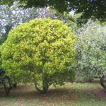 Satsumas at Mercury Orchard
