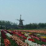 Beautiful Tulip Fields with Windmill in the Background