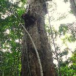 Huge Tree Rises Above Forest Canopy