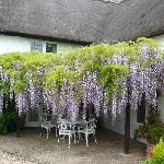 The wisteria in all its glory - May 2008