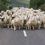 Killer sheep on the way to Dingle
