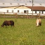 some of the mini horses you can feed and pet with an Amish farm in the background