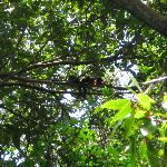 Howler Monkeys in Tree - Nariva Swamp