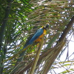 Blue and Gold Macaw in Nariva Swamp