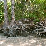 tangled roots on the shore of the creek