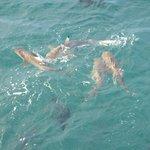 4 reef sharks at fis feeding