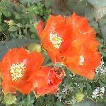 cactus flowers in  hotel garden