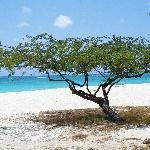 Divi divi tree at the beach