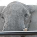 Elephant with Tusks on the back of our vehicle!!!