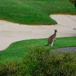 kangaroo by bunker