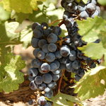 r.mondavi grapes