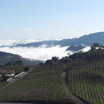 Morning View of Vineyards