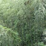 Lush stands of Bamboo