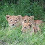 LION CUBS IN THE MASAI MARA