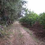 A stroll past the citrus trees and ancient olive trees on Don Mauro's farm