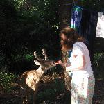 Feeding the Hunting island Deer.