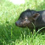 bébé cochon trop mignon