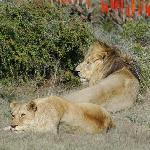 garden route game lodge lions