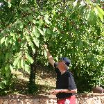 Picking cherries off the tree by the pool