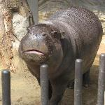 Cutest pygmy hippo ever