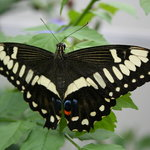 A butterfly from the Buttefly House