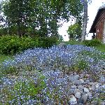 Forget me Nots in grounds
