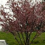 cherry blossom trees in parking lot