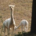 They raise alpacas! Super cute!