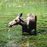 Moose eating at Big Springs