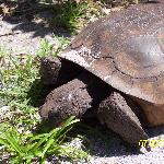 Gopher Turtles live all around the property