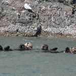Sea otters at Gull island - Homer