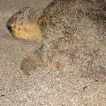 turtle laying her eggs only a few feet from our gate to the beach
