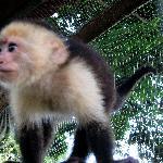Juanito-- the Pet Monkey