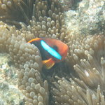 in the outcrops of coral clownfish appear in the swaying anenomes that hide in crags around the