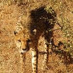 Im Revier der Geparden
