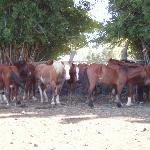Algunos de los caballos de Piti Pont