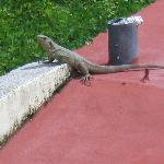 Lizard that lives under the pool!