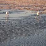 Pelicans on the Salt Flats
