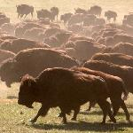 Buffalo in Custer State Park - South Dakota