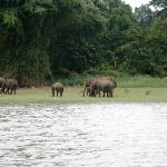 Wild Elephant herds