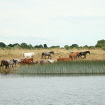 Horses come to drink from the Lough Ree