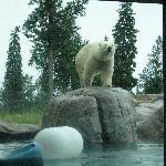 Polar Bears coming out for their afternoon snack.